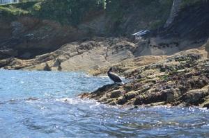 Cormorant