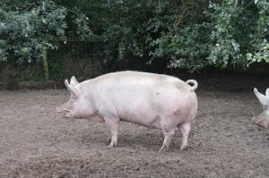 Humungous pig!