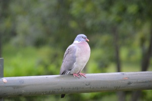 Wet pigeon