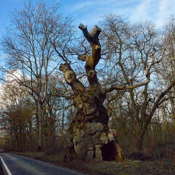 Big Bellied Oak